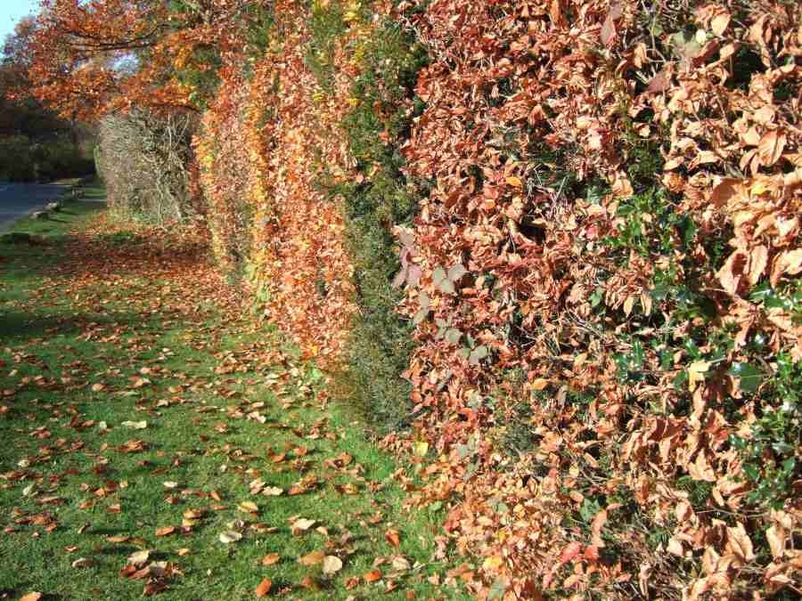Mixed evergreen and deciduous hedge - beech, holly and yew