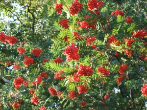 Rowan tree in fruit