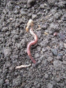 Earthworms keep soil healthy