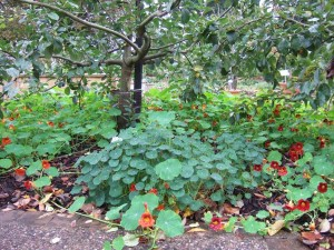 Apples and nasturtians at Wisley