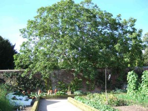 Walnut, Juglans regia, at West Dean