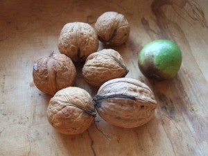 Walnuts, Juglans regia - the first crop from the Climate-Friendly Gardener's back garden!