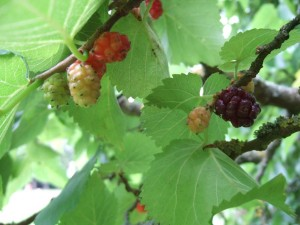 Mulberry, Morus nigra - the black fruits are the luscious ripe ones