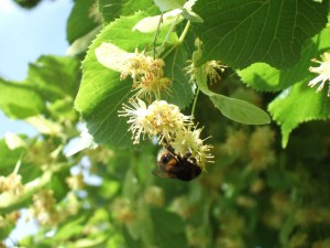 Lime tree in flower with bee