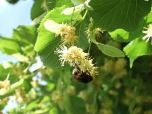 Znalezione obrazy dla zapytania tilia bee
