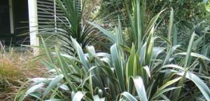 Rain-garden plants - Phormium tenax, New Zealand flax, at Ventnor Botanic Garden
