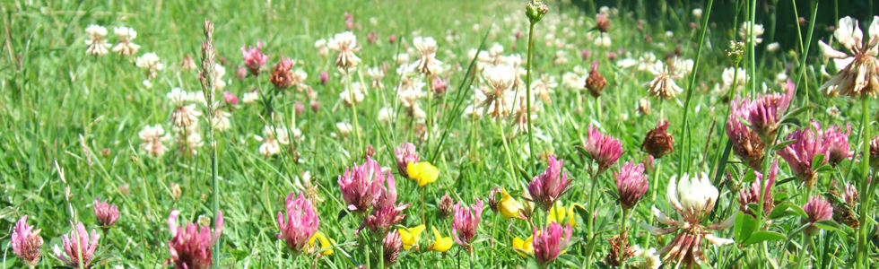 Some nitrogen-fixing native plants: red clover, white clover and bird's-foot trefoil