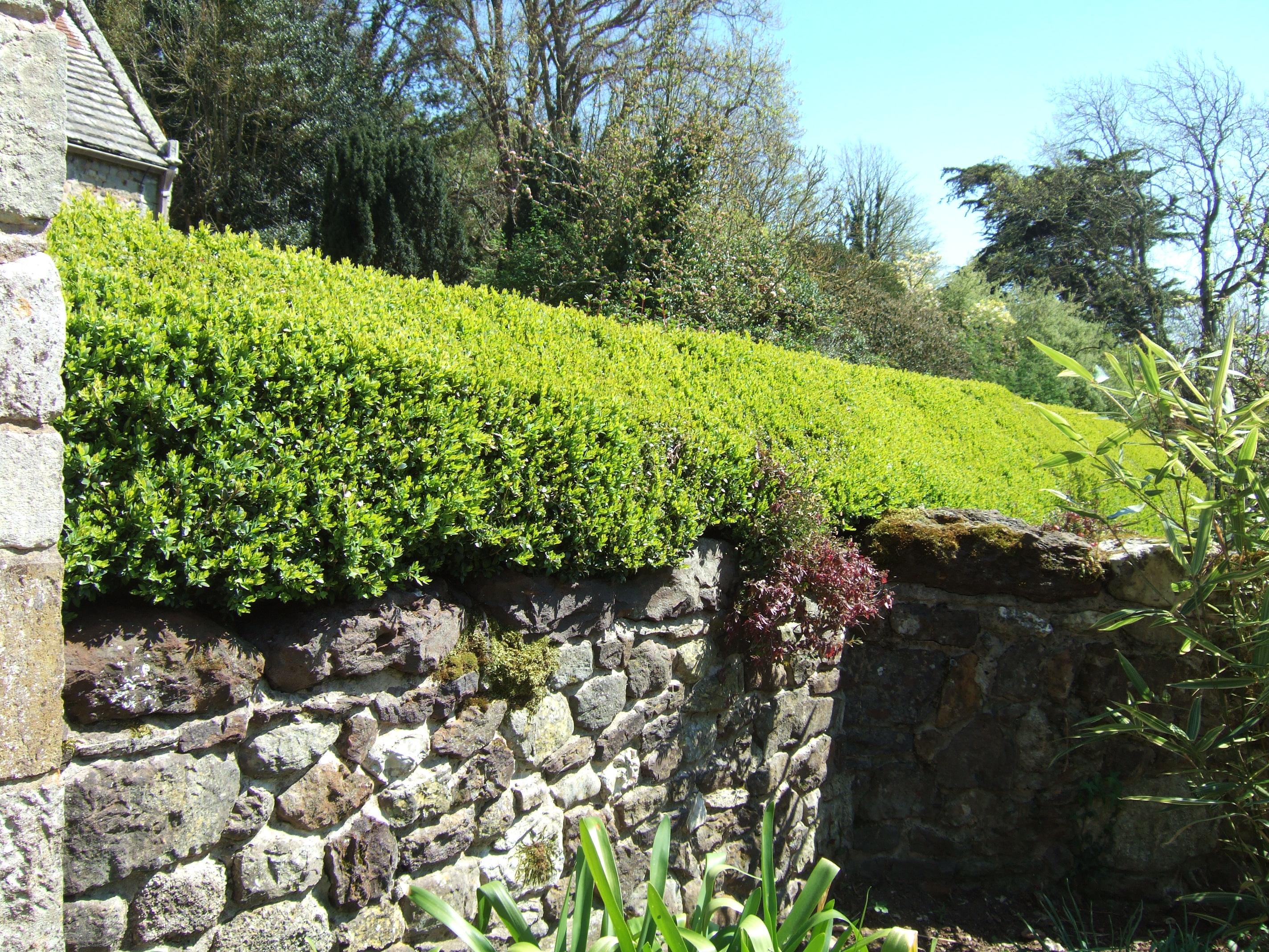 Box hedge at Mottistone Manor